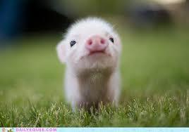 cutest pig